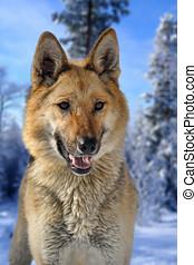 Metis of wolf and german shepherd