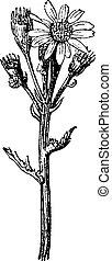 metszés, groundsel, senecio, szüret, vulgaris, közös, vagy