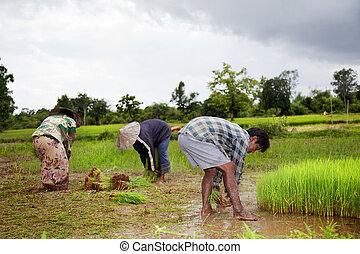 mettre, agriculteurs, khon, laos, riz, sud, récolte