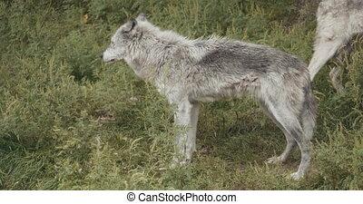 meute, wolves., cinematic, 4k