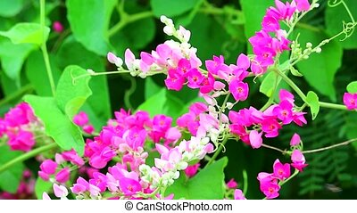Mexican Creeper, Chain of Love or Antigonon leptopus pink ...