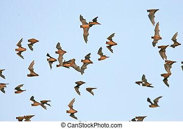 Mexican Free-tailed Bats - Tadarida brasiliensis - Concan,...