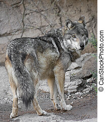 Mexican Grey Wolf looking back over his shoulder