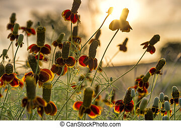 Mexican hat Wildflowers - Mexican hat wildflowers bathed in...