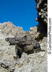 Mexican iguana in Tulum, Riviera Maya, Mexico