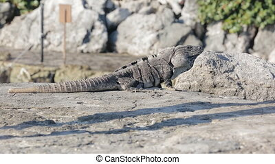 Mexican iguana wildlife sitting on the rock on the beach