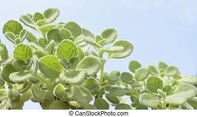 Mexican mint plants - Pale green mexican mint plants under...