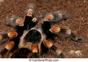 Mexican red knee tarantula close-up