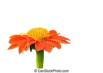 Mexican sunflower & Clipping inside