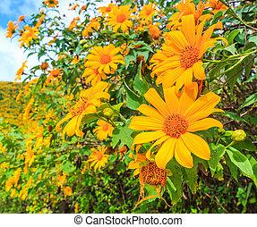 Mexican sunflower or Tithonia diversifolia (Origin at...