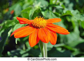 Mexican sunflower (Tithonia rotundifolia)