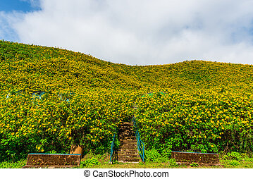 Mexican sunflower weed valley in Maehongson Province,...