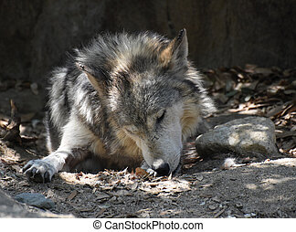 Mexican Wolf Licking His Front Paw While Resting