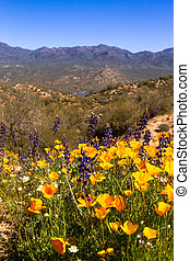 Mexican Yellow Poppies and purple Lupine growing in the desert near Bartlett Lake Arizona