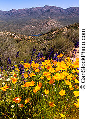 Mexican Yellow Poppies and purple Lupine growing in the desert near Bartlett Lake Arizona with Saguaro cactuses