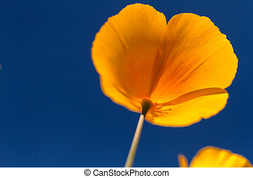 Mexican Yellow poppies bloom from the bottom against a clear blue sky