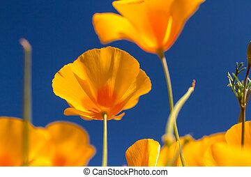 Mexican Yellow poppies blooms from the bottom against a clear blue sky