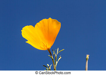 Mexican Yellow poppies blossom from the bottom against a clear blue sky