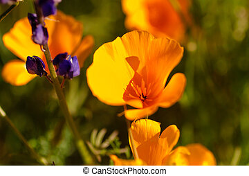 Mexican Yellow poppies blossoms close up