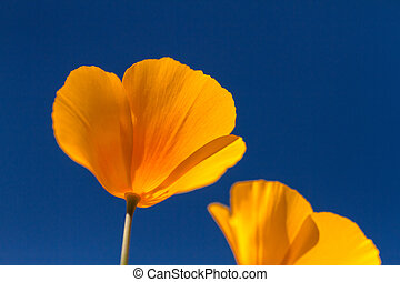 Mexican Yellow Poppies