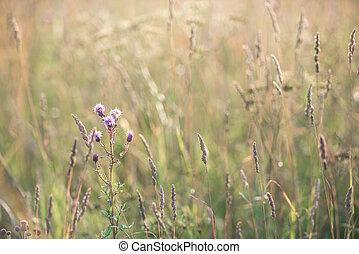 mező, arany-, fű, megvilágít, nap