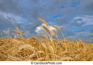 mező, búza, termés