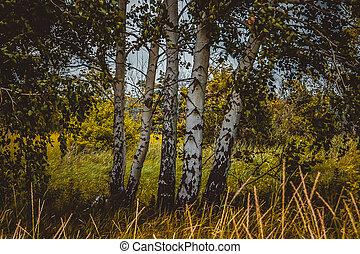 mező, bitófák, nyírfa