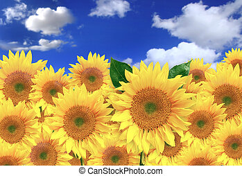 mező, boldog, napos nap, napraforgók