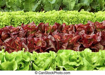 mező, evez, friss, fejes saláta