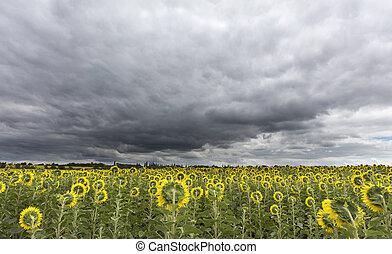 mező, felett, ég, viharos, napraforgók