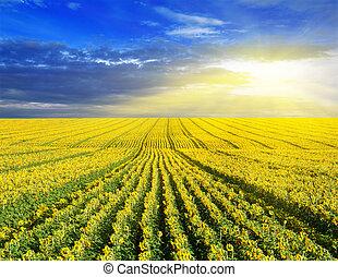 mező, felett, napnyugta, napraforgó