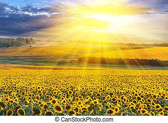 mező, felett, napnyugta