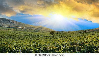 mező, felett, szőlő, napkelte