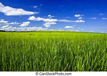 mező, gabona