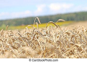 mező, hajlandó, helyett, betakarít