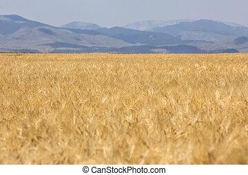 mező, közül, érett, arany-, búza