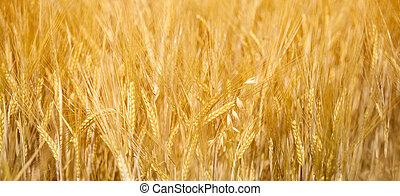 mező, közül, arany-, búza