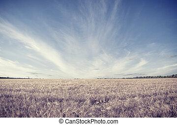 mező, közül, betakarít, búza
