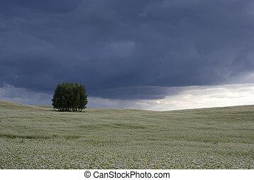 mező, közül, buckwheat.