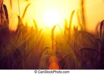 mező, közül, száraz, arany-, wheat., betakarít, fogalom