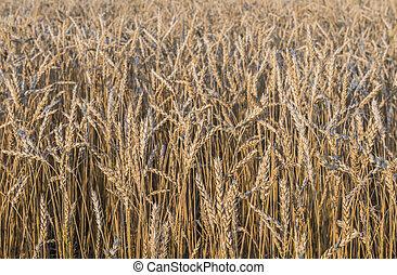mező, közül, wheat.