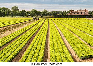 mező, közül, zöld fejes saláta