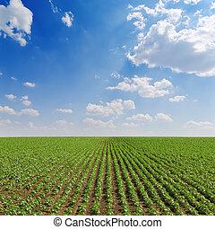 mező, noha, zöld, napraforgók, alatt, cloudy ég