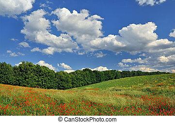 mező, zöld piros, mákok