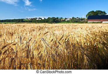 mezőgazdaság, érett, rozs, búza, nyár, ég blue