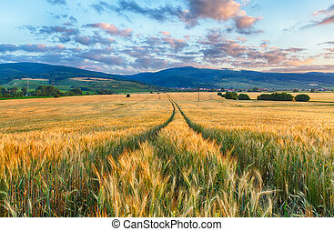 mezőgazdaság, -, búza terep