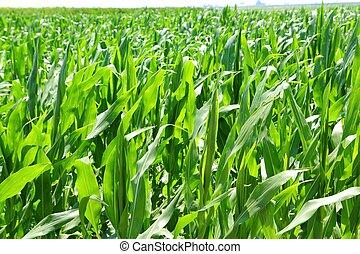 mezőgazdaság, gabonaszem, detektívek, mező, zöld gyarmat