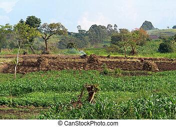 mezőgazdaság, közel, rwenzori, hegyek