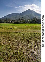 mezőgazdaság, rizs terep, táj