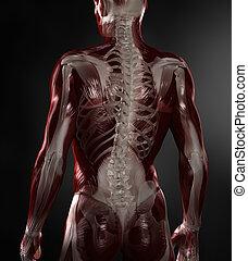 meztelen, ember, noha, látható, izmok, és, csontváz
